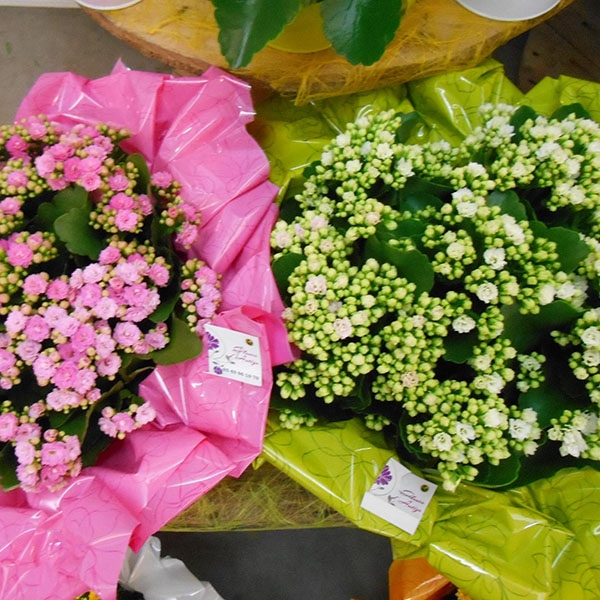 Coupes kalanchoes